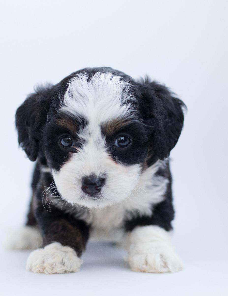 kleine hondenmand puppy