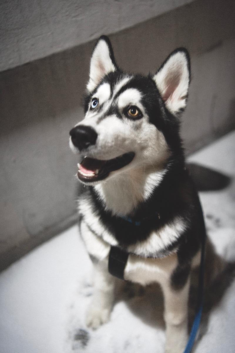 Hondenbank leer husky