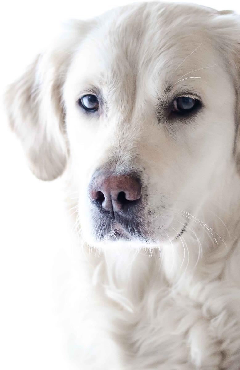 Luxe hondensofa golden retriever